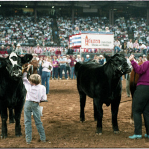 Selection of the Grand Champion Steer<br /><br />